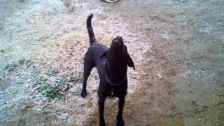 Logan's First Snow. English Bulldog Lab Mix