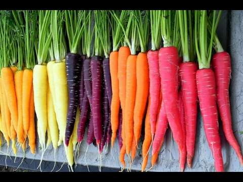 Planting Carrot Seeds In February 4 Varieties YouTube