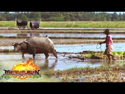 How to plow rice fields | Matanglawin