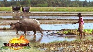 How to plow rice fields   Matanglawin