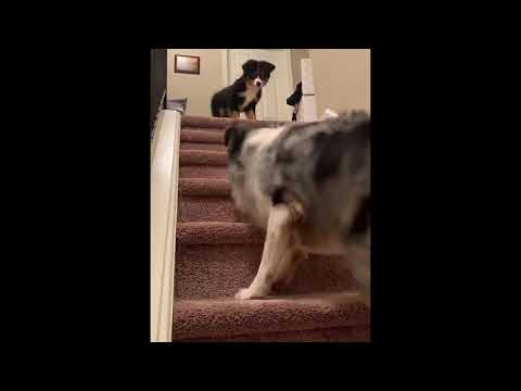 Australian Shepherd Dog teaches Puppy to walk down the stairs!