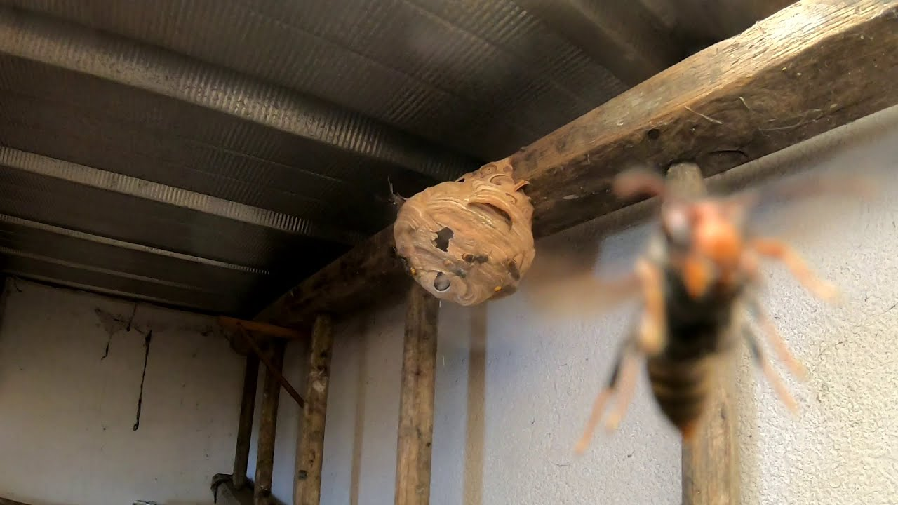 Un petit nid de frelons asiatiques bien dangereux, première vidéo 2020