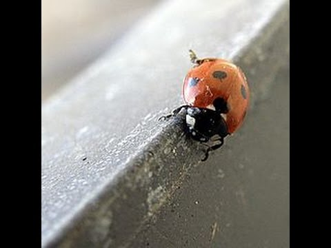 How To Home Edition Focus Get Rid Of A Ton Ladybugs Quickly You