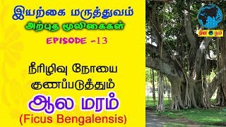 Banyan Tree | ஆல மரம் (ஆல்) மருத்துவ பயன்கள் | Medical Benefits of Aala Maram | Ficus Bengalensis