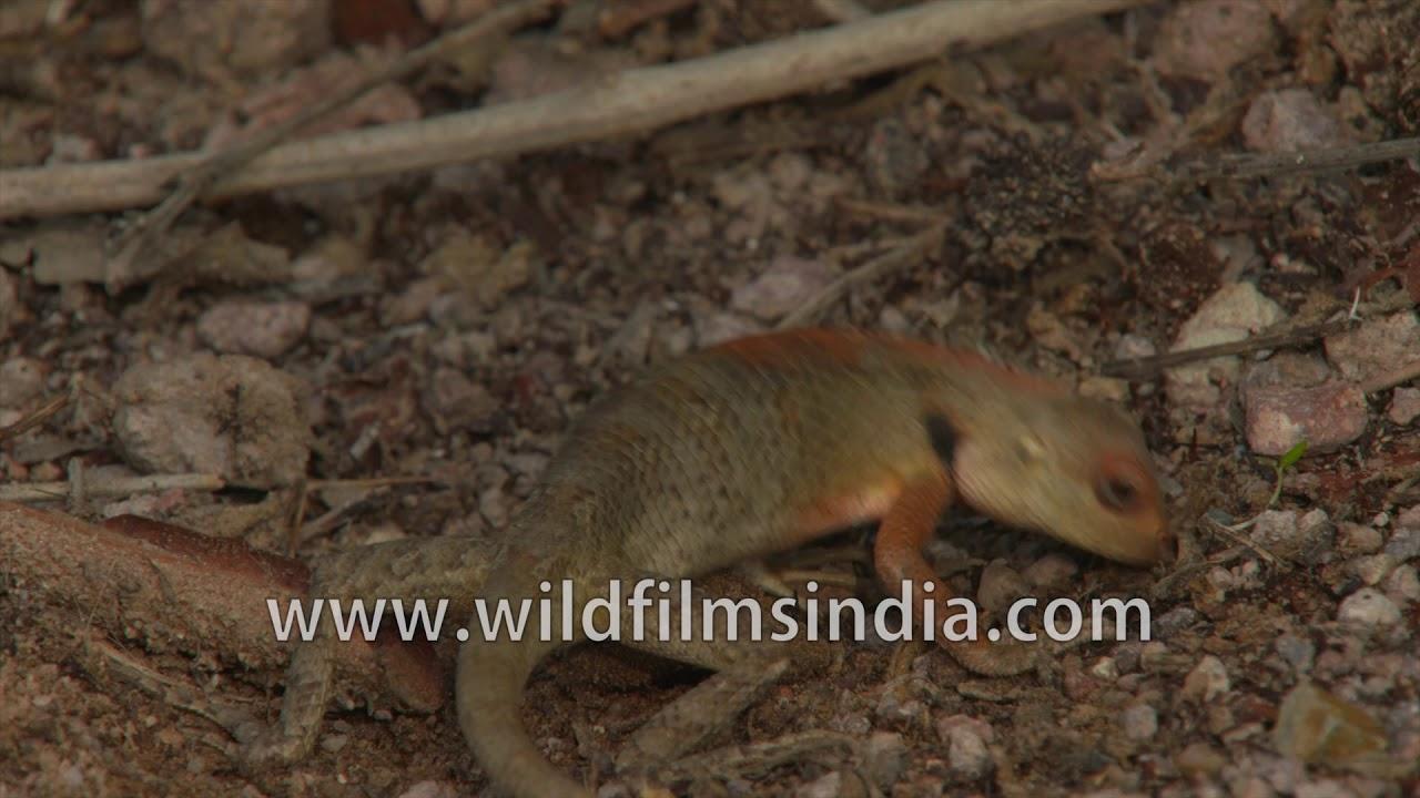 Girgit Or Common Garden Lizard Calotes Versicolor Stomps Down Stones And Mud Over Egg Hole Rare Youtube