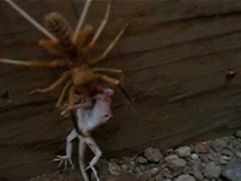 Camel Spider eating a ...