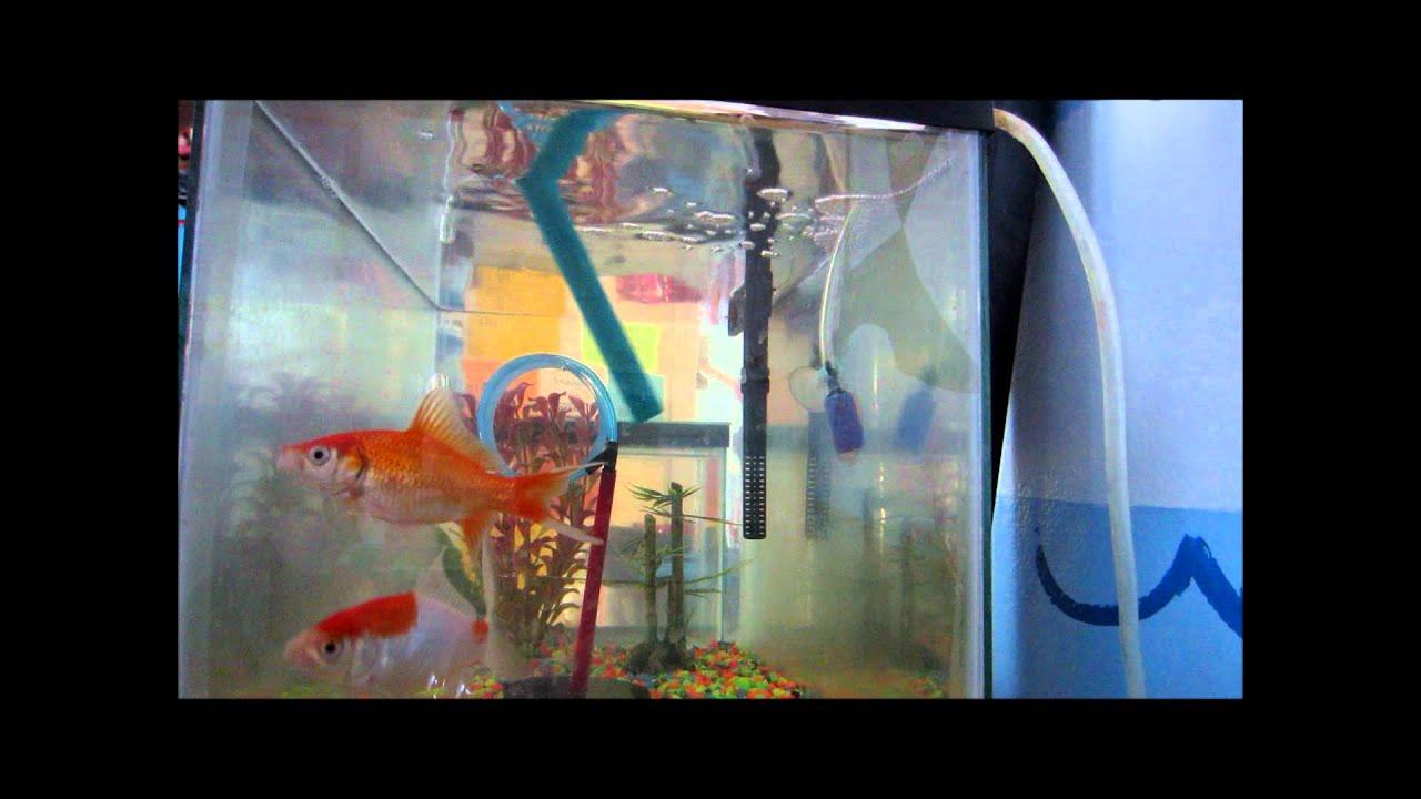 R2 fish school goldfish training youtube for Betta fish training