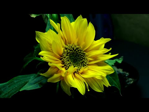 Time Lapse of Sunflower from Seed to Flower