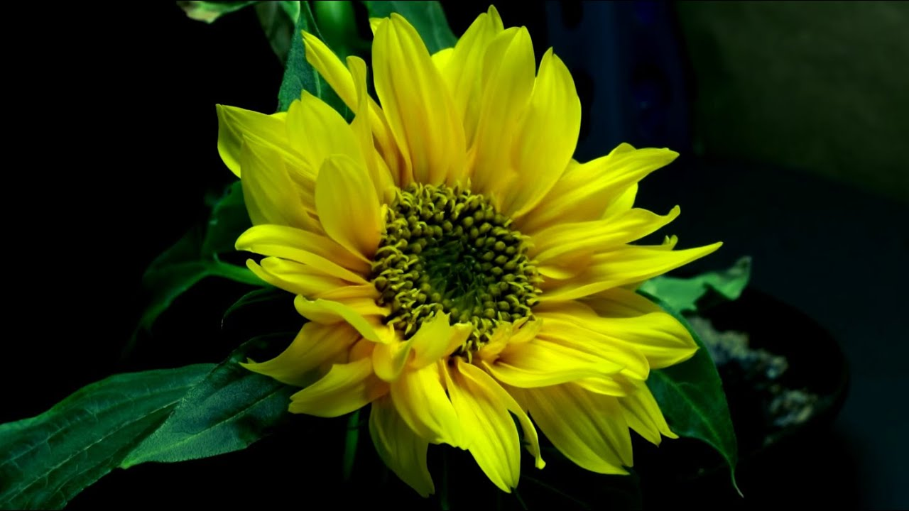 73b3ccbd7c9c0 ... how to buy a0583 c8538 Time Lapse of Sunflower from Seed to Flower ...