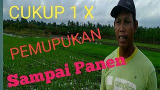 Download lagu PEMUPUKAN PADI HANYA SEKALI SAMPAI PANEN