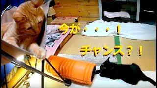 チタンの大冒険♪保護(26)〜もういいんかい!〜Adventure of abandoned kitten.Name Chitan. thumbnail