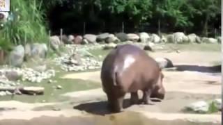 Видео прикол в зоопарке с бегемотом  Приколы про животных