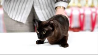 Бурманская кошка номер два