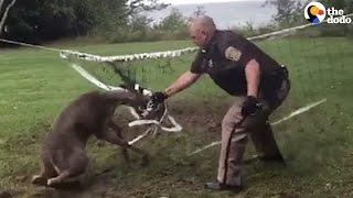 Deer Stuck In Volleyball Net Gets Rescued