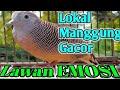 Lokal Manggung Gacor Bikin Lawan Emosi  Mp3 - Mp4 Download