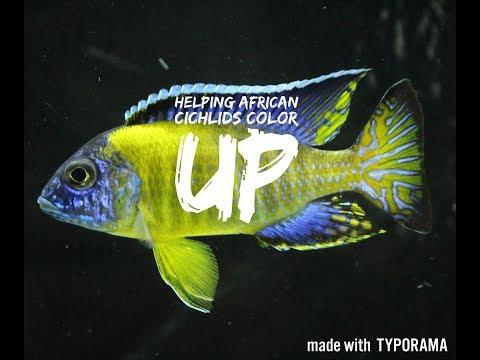HELPING AFRICAN CICHLIDS COLOR UP | Aquarium Hints & Tips