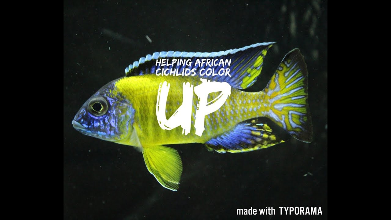 HELPING AFRICAN CICHLIDS COLOR UP | aquarium hints & tips - YouTube