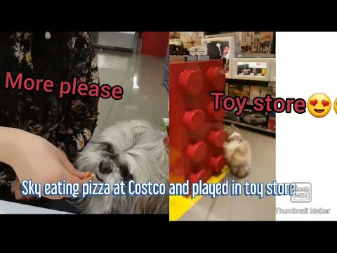 My Shih Tzu At #Costco# And Toy Store Sky The Fluffy Shih Tzu