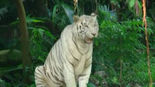 アキ―ラさんお薦め!シンガポール動物園!白虎 Singapore zoo