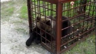 Как ловить медведя мышеловкой... | Bear in birdcage