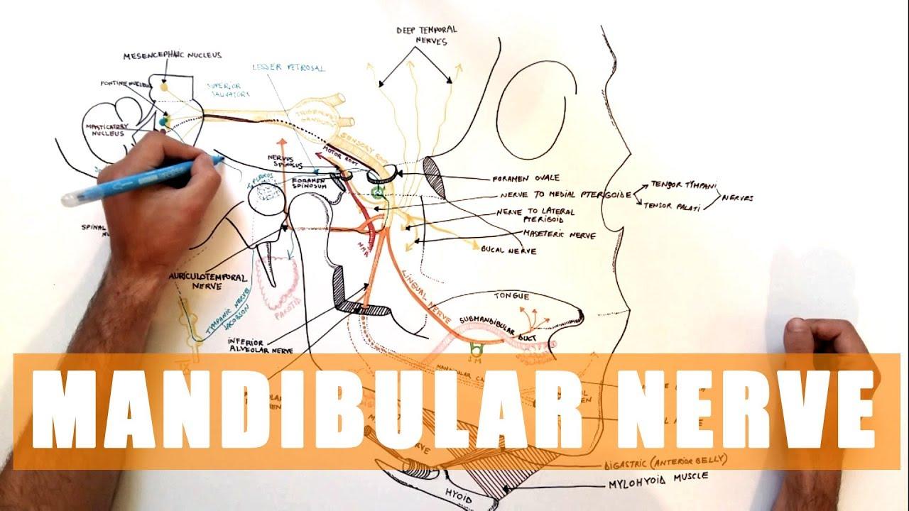 Trigeminal Nerve Anatomy The Mandibular Nerve Youtube
