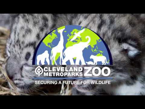 Introducing Cleveland Metroparks Zoo Baby Snow Leopards