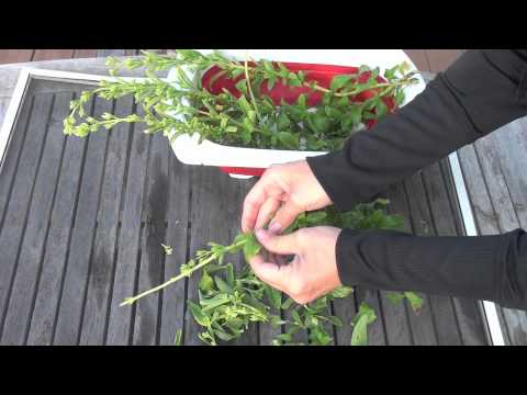 How To Make Your Own Pure Stevia And Liquid Stevia