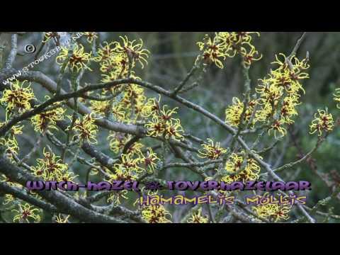 hamamelis mollis - chinese toverhazelaar - witch-hazel