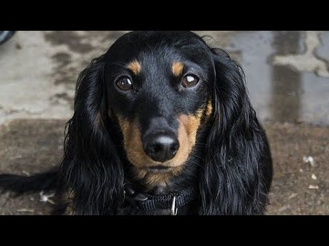 Amazing Facts on Dachshund | In Hindi | Dog Facts | Animal Channel Hindi