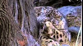 YouTube -  Snow Leopard of Pakistan - chitral flv