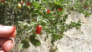 Grafting Goji Berries in Australian Conditions