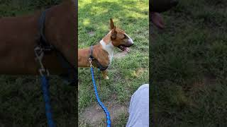 Excited Mini Bull Terrier Stitch