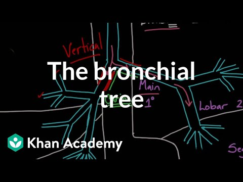 The bronchial tree | Advanced respiratory system physiology | Health & Medicine | Khan Academy