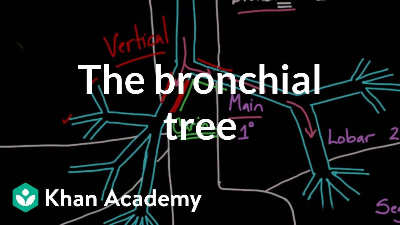 Z Chart Statistics The bronchial tree | A...