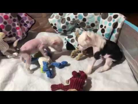 Extreme Chinese Crested 9/9/18