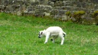 Curious And Playful Lambs Spring 2009 Part 2