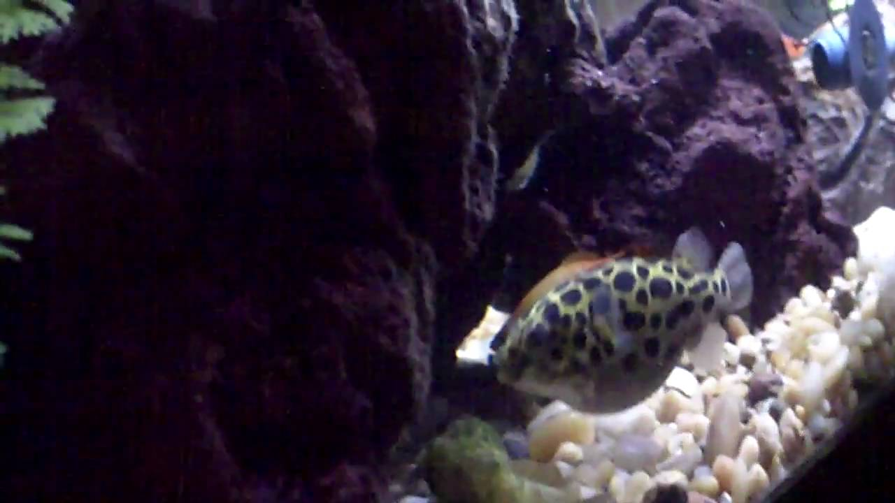 Green spotted puffer puffs up for the first time doovi for Puffer fish puffing