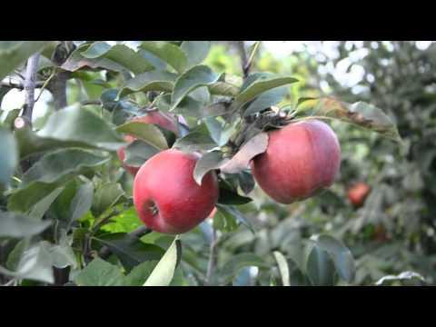 Осенне зимний сорт яблони Элиза