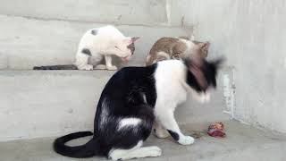 Black & White Cat with Kittens Aged 68 Days Eating Meat on Upstairs