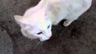 Кошка с разноцветными глазами. Сибай. 29.04.2011