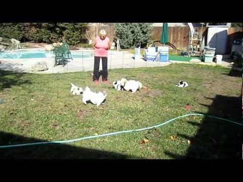 Shih Poo Puppies 7 weeks ~ First time outside
