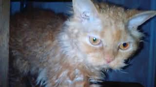 Кудрявые котята породы селкирк-рекс.Продажа !