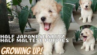 CUTE PUPPIES GROWING UP|08WEEKS HALF JAPANESE SPITZ+MALTESE PUPPIES