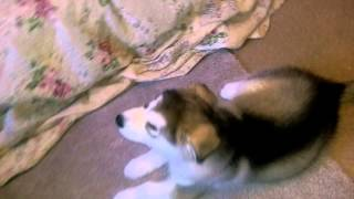 Marahootay 2014 'genie & Austin' Litter. Alaskan Malamute Puppy Training.