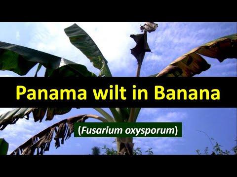 How to manage Panama wilt in Banana crop - Fusarium oxysporum