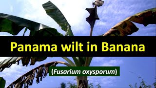How to manage Panama wilt in Banana crop - Fusarium oxysporum