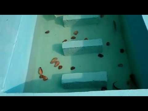 kolam ikan sederhana diatas dak rumah - youtube