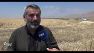 بدء جني محصول القمح في ريف حماة لهذا العام بعد انقطاع 6 سنوات