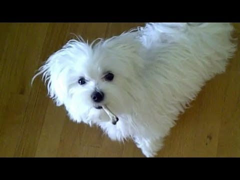 Cute Maltese puppy dog playing with bone barking funny video puppies play bark things