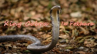 King Cobra Rescue in Pokhara | Nepal | Rohit Giri |